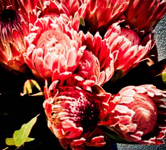 South African protea flowers